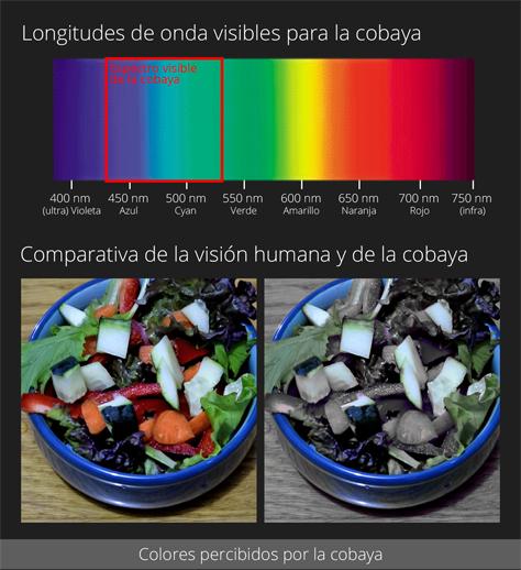 Colores percibidos por la cobaya