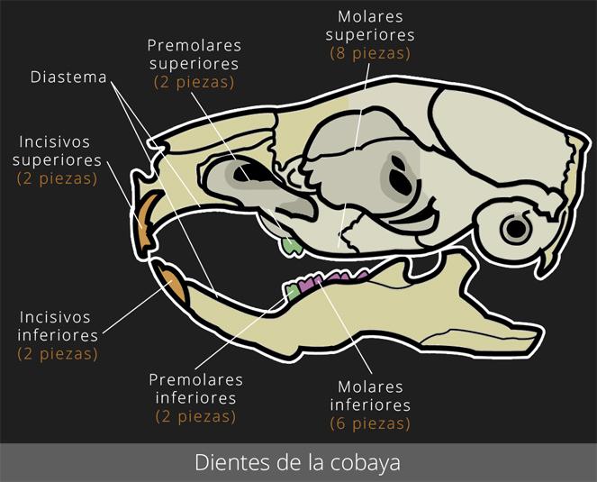Dientes de la cobaya