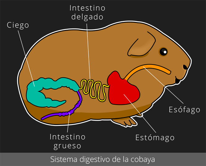 Sistema digestivo de la cobaya