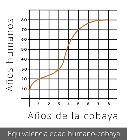 Equivalencia edad humano-cobaya