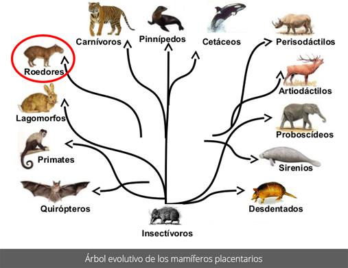 Árbol evolutivo de los mamíferos placentarios
