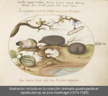 Ilustración de una cobaya datada de 1574-1580