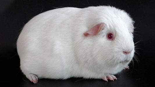 Cobaya albina