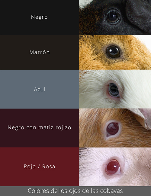 Colores de los ojos de las cobayas
