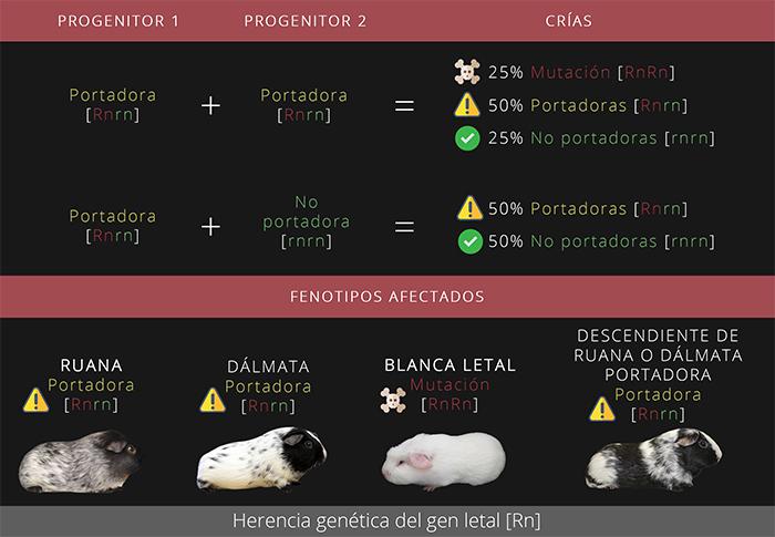 Herencia genética del gen letal [Rn]