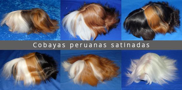 Cobayas peruanas satinadas