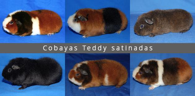 Cobayas Teddy satinadas