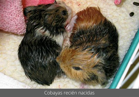 Cobayas recién nacidas