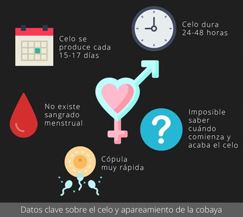 Datos clave sobre el celo y apareamiento de la cobaya