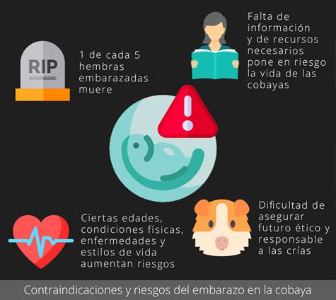 Contraindicaciones y riesgos del embarazo de la cobaya