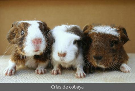 Crías de cobaya