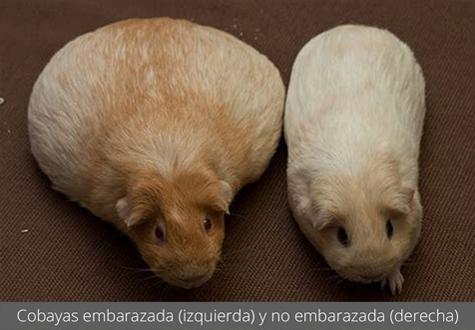 Cobayas embarazada (izquierda) y no embarazada (derecha)