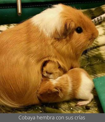 Cobaya hembra con sus crías