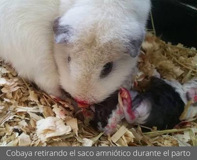Cobaya retirando el saco amniótico durante el parto