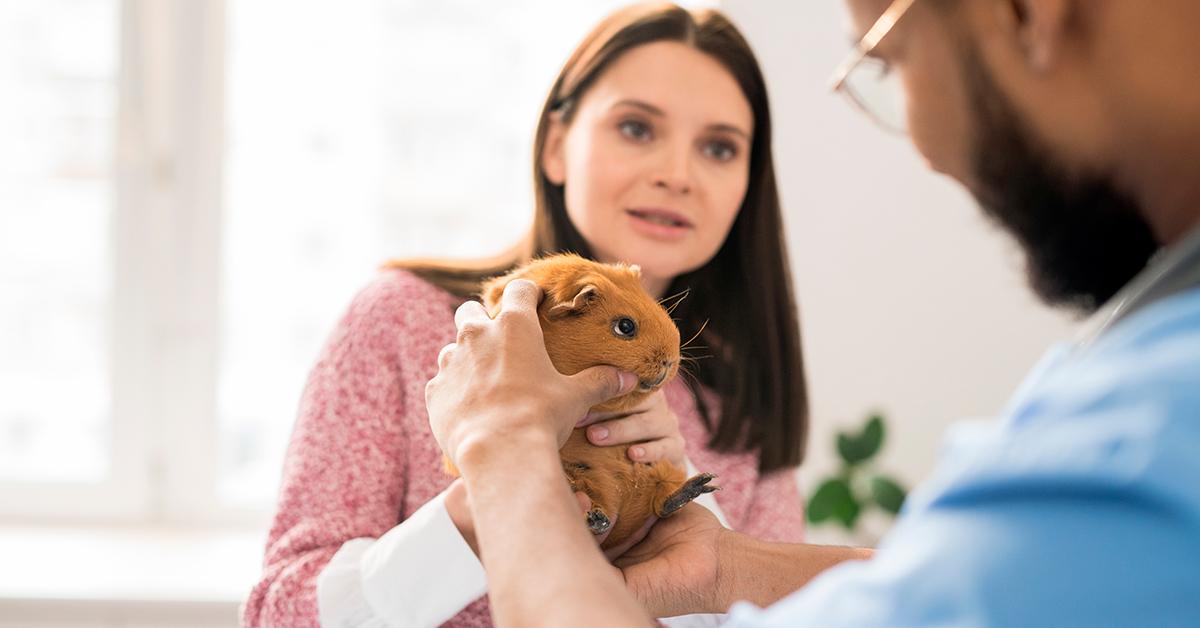 Cobaya enferma en el veterinario