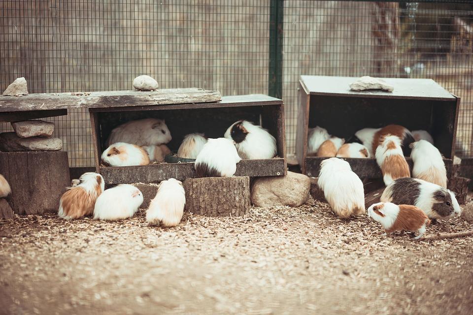 Refugio de cobayas