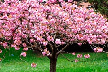 Madera de cerezo para cobayas