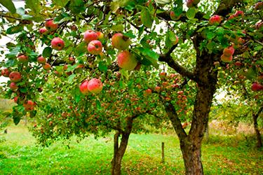 Madera de manzano para cobayas