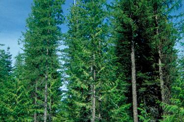 Madera de pino blanco para cobayas