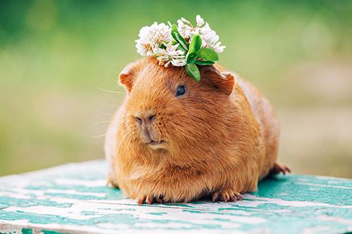 Cobaya con flores en la cabeza