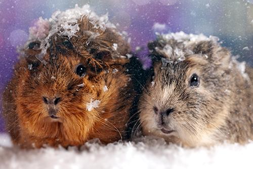Cobayas rodeadas de nieve