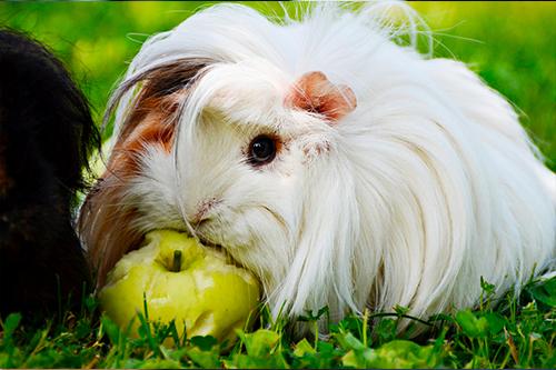 Cobaya comiendo manzana