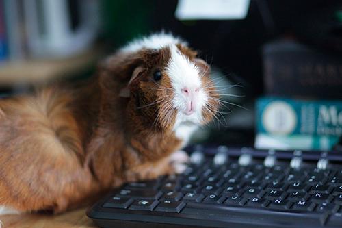 Cobaya en el ordenador
