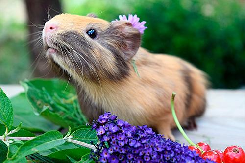 Cobaya rodeada de flores